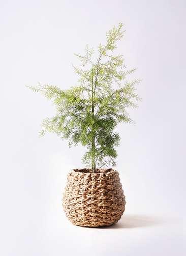 観葉植物 ティーツリー メラレウカ レボリューションゴールド 8号 ラッシュバスケット Natural 付き