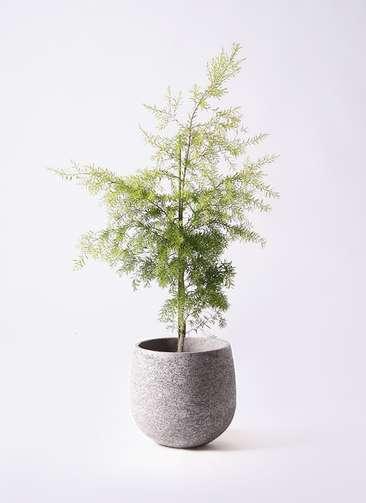 観葉植物 ティーツリー メラレウカ レボリューションゴールド 8号 エコストーンGray 付き