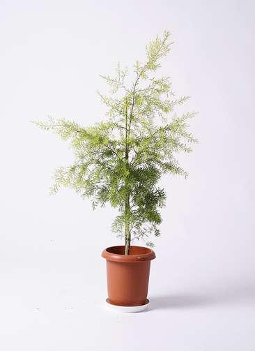 観葉植物 ティーツリー メラレウカ レボリューションゴールド 8号 プラスチック鉢