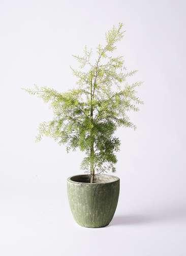 観葉植物 ティーツリー メラレウカ レボリューションゴールド 8号 アビスソニアミドル 緑 付き