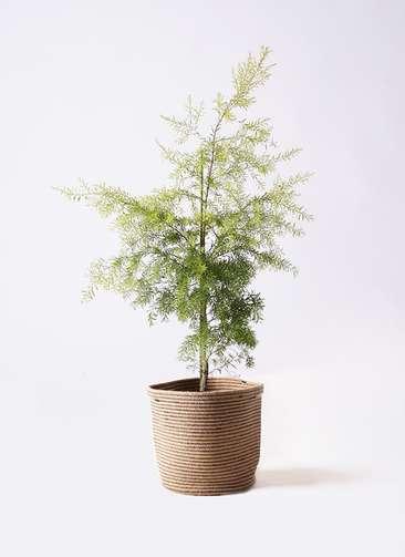 観葉植物 ティーツリー メラレウカ レボリューションゴールド 8号 リブバスケットNatural 付き