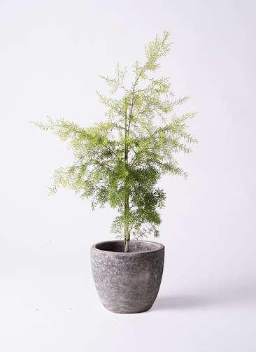 観葉植物 ティーツリー メラレウカ レボリューションゴールド 8号 アビスソニアミドル 灰 付き