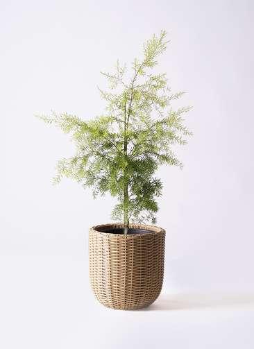観葉植物 ティーツリー メラレウカ レボリューションゴールド 8号 ウィッカーポットエッグ ベージュ 付き