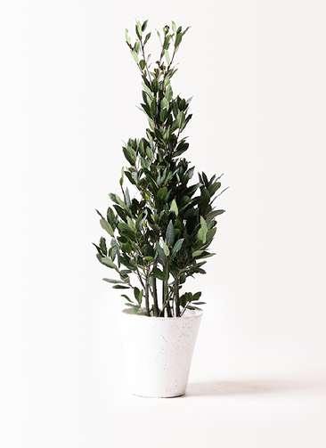 観葉植物 月桂樹 8号 フォリオソリッド 白 付き