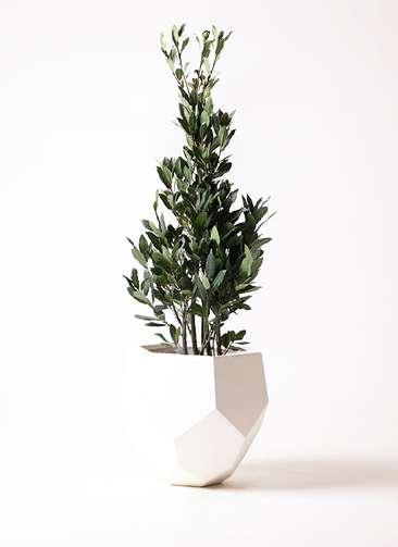 観葉植物 月桂樹 8号 ポリゴヘクサ 白 付き