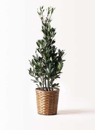 観葉植物 月桂樹 8号 竹バスケット 付き