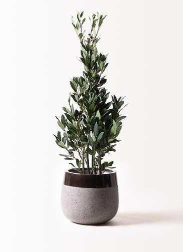 観葉植物 月桂樹 8号 ファイバーストーンタウルス 黒 付き