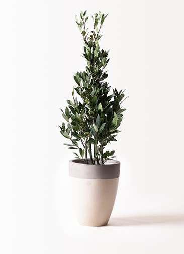 観葉植物 月桂樹 8号 ファイバーストーンカプリ サンディホワイト 付き