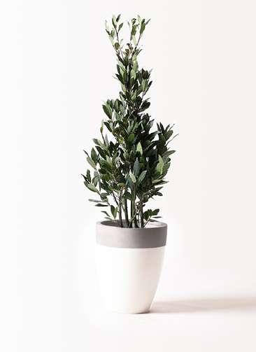 観葉植物 月桂樹 8号 ファイバーストーンカプリ 白 付き