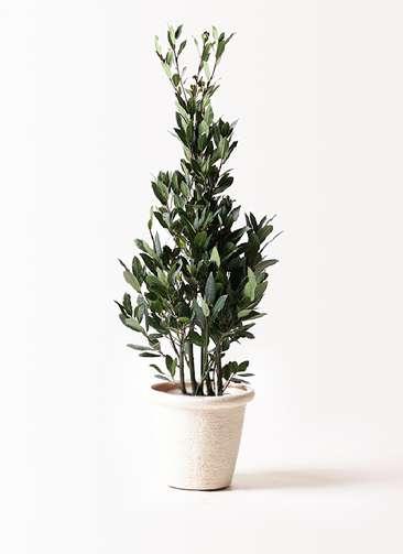 観葉植物 月桂樹 8号 ビアスリムス 白 付き