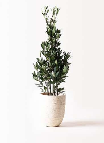 観葉植物 月桂樹 8号 ビアスアルトエッグ 白 付き