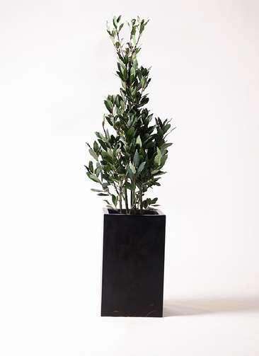 観葉植物 月桂樹 8号 セドナロング 墨 付き