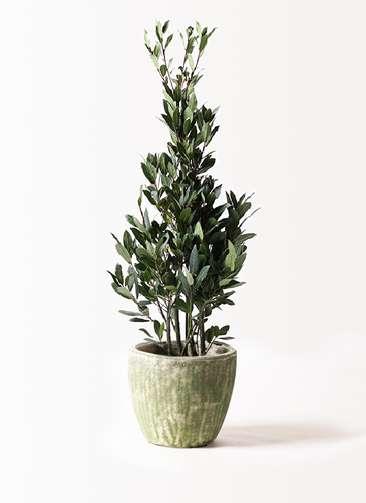 観葉植物 月桂樹 8号 アビスソニアミドル 緑 付き