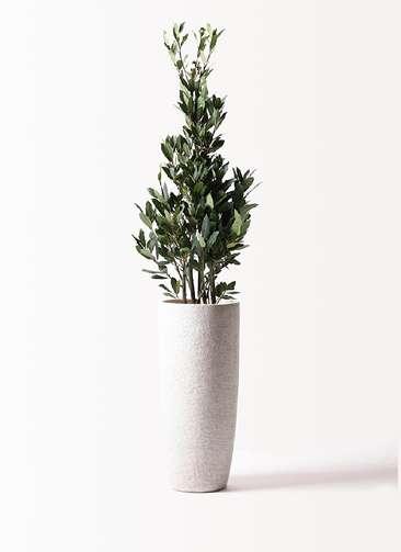 観葉植物 月桂樹 8号 エコストーントールタイプ white 付き