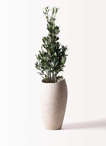 観葉植物 月桂樹 8号 エコストーントールタイプ Light Gray 付き