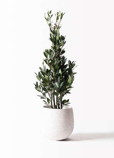 観葉植物 月桂樹 8号 エコストーンwhite 付き