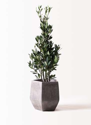 観葉植物 月桂樹 8号 ファイバークレイ Gray 付き