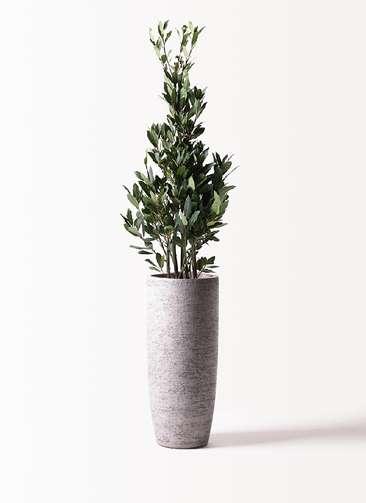 観葉植物 月桂樹 8号 エコストーントールタイプ Gray 付き