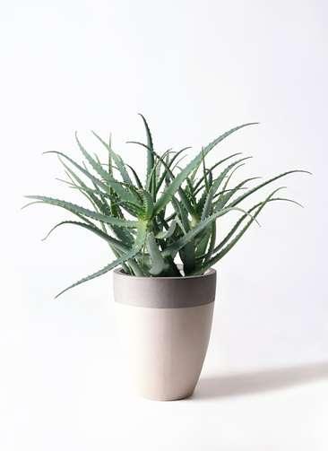 多肉植物 アロエ キダチ8号 ファイバーストーンカプリ サンディホワイト 付き