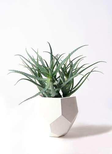 多肉植物 アロエ キダチ8号 ポリゴヘクサ 白 付き