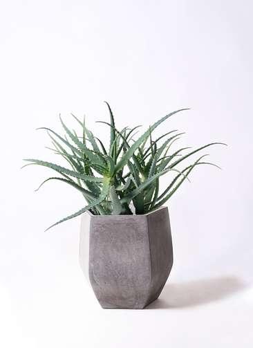 多肉植物 アロエ キダチ8号 ファイバークレイ Gray 付き