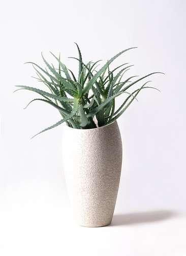 多肉植物 アロエ キダチ8号 エコストーントールタイプ Light Gray 付き