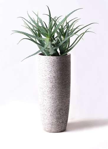 多肉植物 アロエ キダチ8号 エコストーントールタイプ Gray 付き