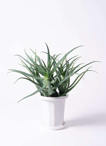 多肉植物 アロエ キダチ8号 プラスチック鉢