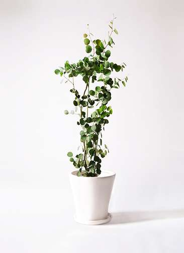 観葉植物 ユーカリ ポリアンセモス 8号 サブリナ 白 付き