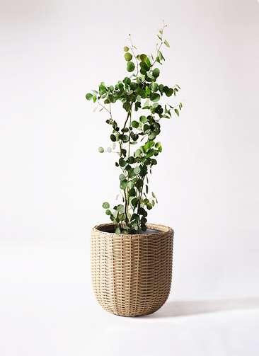 観葉植物 ユーカリ ポリアンセモス 8号 ウィッカーポットエッグ ベージュ 付き
