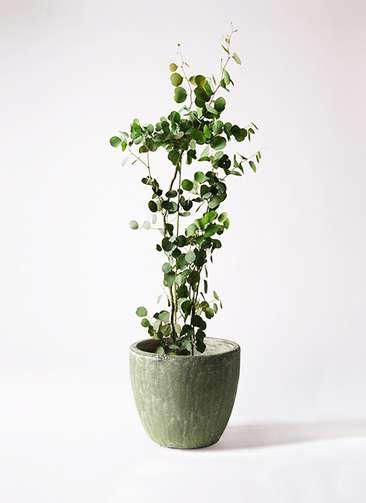 観葉植物 ユーカリ ポリアンセモス 8号 アビスソニアミドル 緑 付き