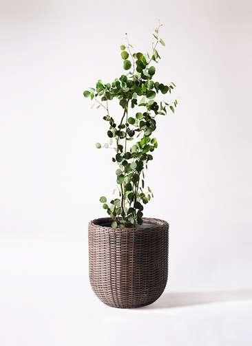 観葉植物 ユーカリ ポリアンセモス 8号 ウィッカーポットエッグ 茶 付き