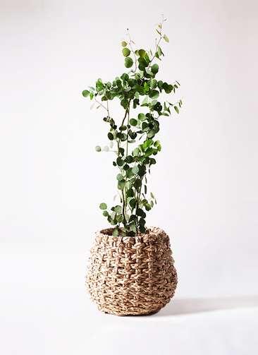観葉植物 ユーカリ ポリアンセモス 8号 ラッシュバスケット Natural 付き