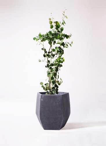 観葉植物 ユーカリ ポリアンセモス 8号 ファイバークレイ Gray 付き