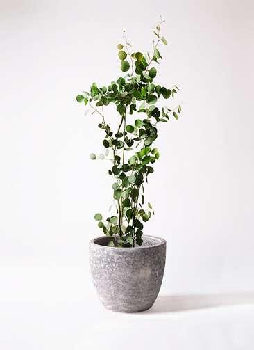 観葉植物 ユーカリ ポリアンセモス 8号 アビスソニアミドル 灰 付き
