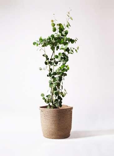 観葉植物 ユーカリ ポリアンセモス 8号 リブバスケットNatural 付き