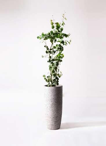 観葉植物 ユーカリ ポリアンセモス 8号 エコストーントールタイプ Gray 付き