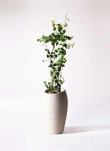 観葉植物 ユーカリ ポリアンセモス 8号 エコストーントールタイプ Light Gray 付き