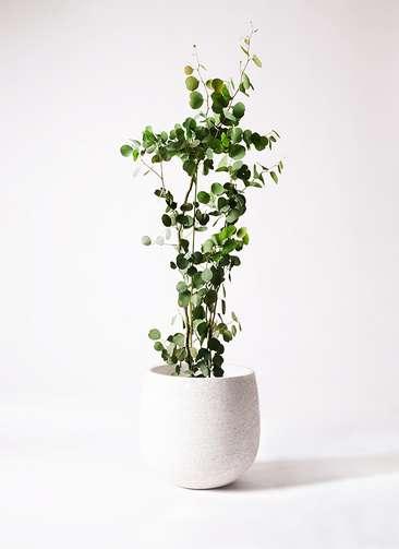 観葉植物 ユーカリ ポリアンセモス 8号 エコストーンwhite 付き