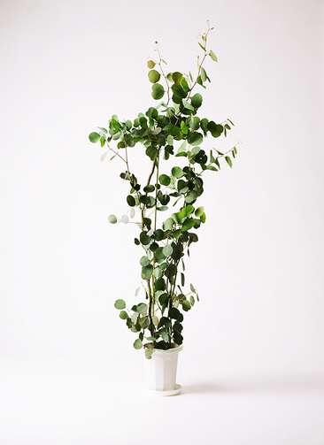 観葉植物 ユーカリ ポリアンセモス 8号 プラスチック鉢