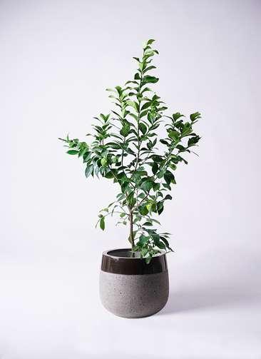 果樹 レモンの木 8号 リスボン ファイバーストーンタウルス 黒 付き
