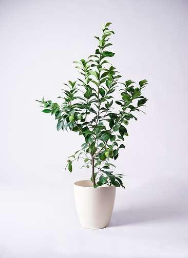 果樹 レモンの木 8号 リスボン ラスターポット 付き