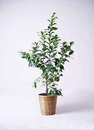 果樹 レモンの木 8号 リスボン 竹バスケット 付き