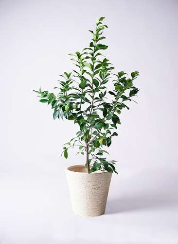 果樹 レモンの木 8号 リスボン ビアスソリッド 白 付き