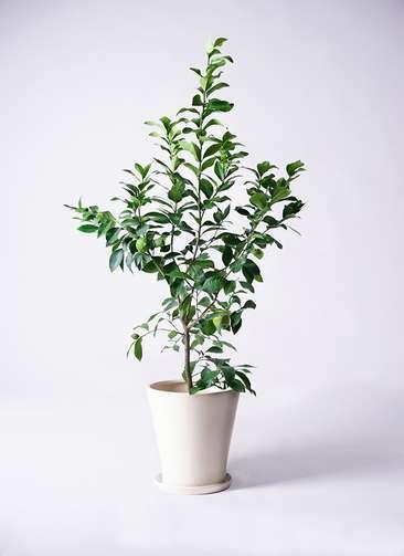 観葉植物 レモン リスボン8号 サブリナ 白 付き