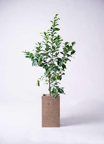観葉植物 レモン リスボン8号 セドナロング グレイ 付き