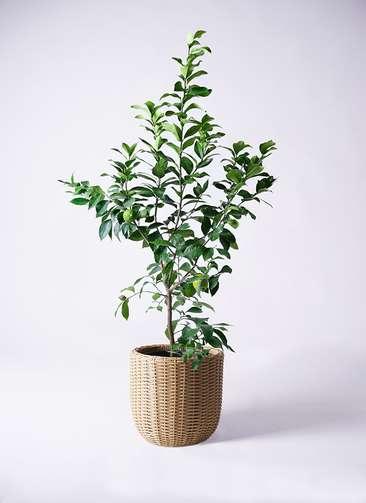 観葉植物 レモン リスボン8号 ウィッカーポットエッグ ベージュ 付き
