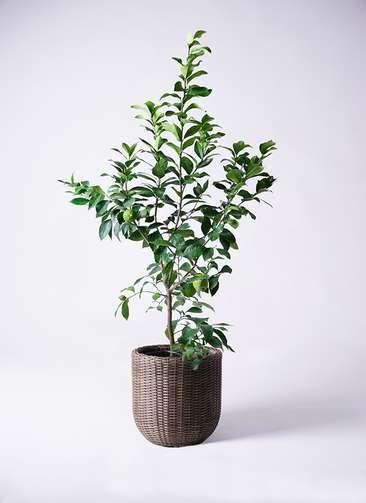 観葉植物 レモン リスボン8号 ウィッカーポットエッグ 茶 付き