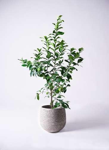 観葉植物 レモン リスボン8号 エコストーンGray 付き