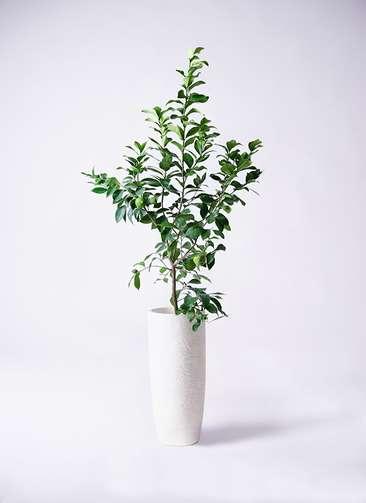 観葉植物 レモン リスボン8号 エコストーントールタイプ white 付き